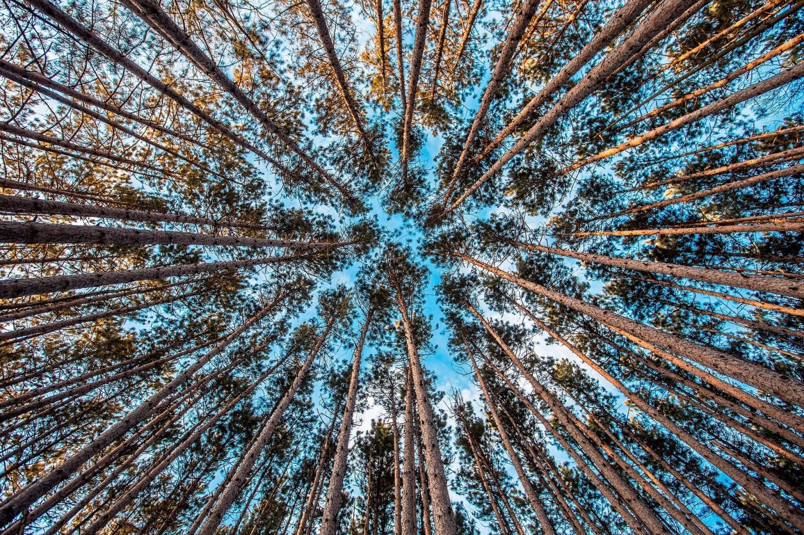 View from the ground looking up to tree tops in a forest